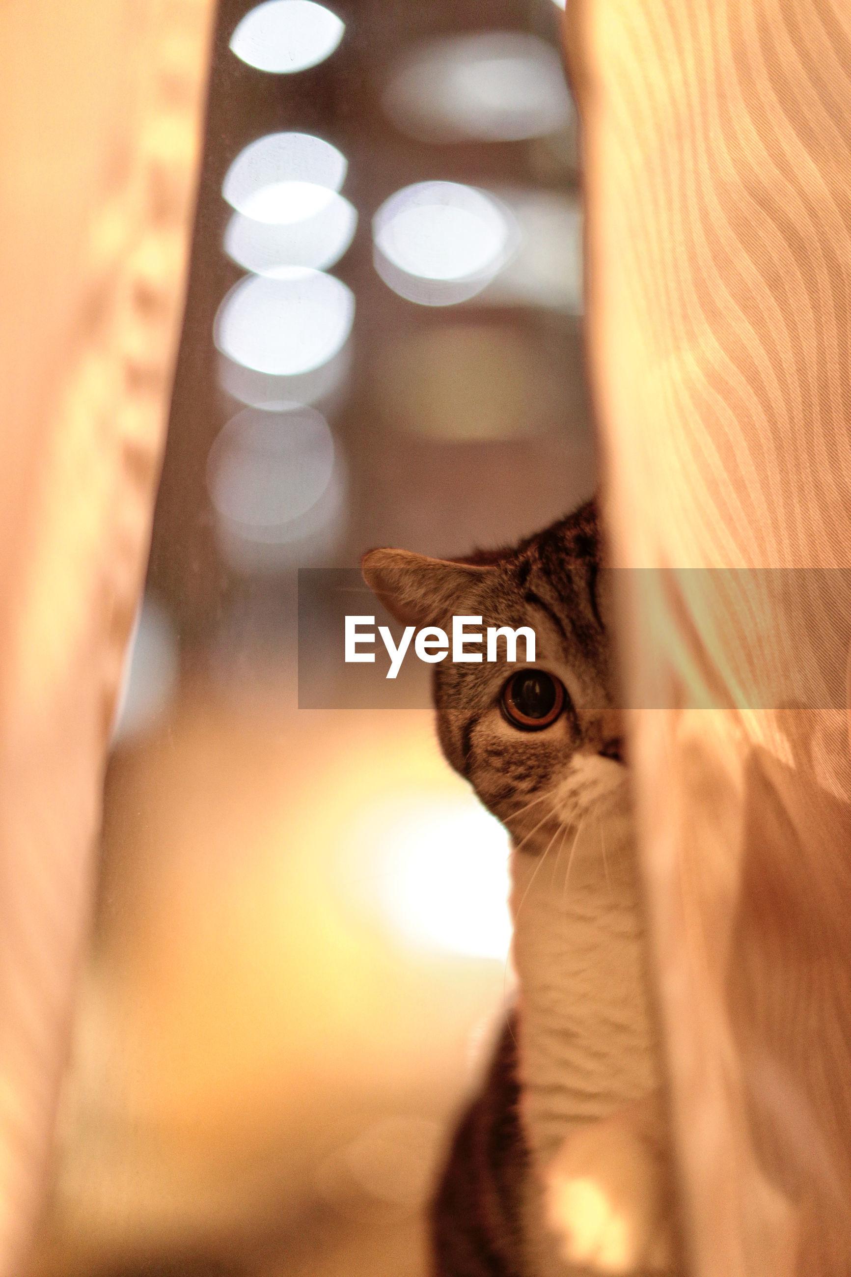 Portrait of cat behind curtain