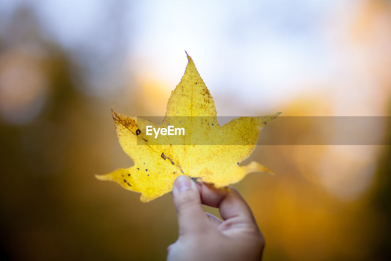 Close-Up Of Hand Holding Maple Leaf During Autumn
