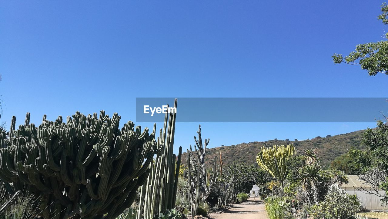 plant, sky, clear sky, growth, nature, tree, copy space, blue, beauty in nature, tranquility, no people, cactus, succulent plant, scenics - nature, day, tranquil scene, sunlight, land, landscape, non-urban scene, outdoors, arid climate