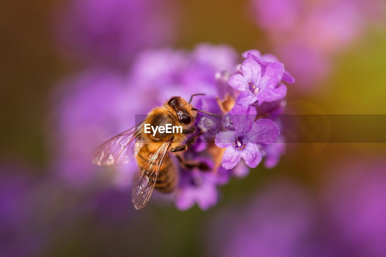 flower, flowering plant, beauty in nature, one animal, animals in the wild, insect, animal themes, animal, animal wildlife, invertebrate, petal, fragility, flower head, vulnerability, close-up, bee, plant, purple, pollination, growth, no people, pollen