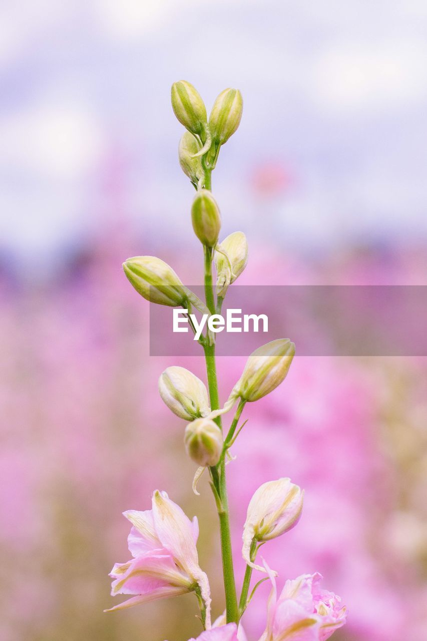 flower, plant, growth, flowering plant, beauty in nature, fragility, vulnerability, freshness, close-up, pink color, no people, focus on foreground, bud, nature, day, petal, beginnings, outdoors, plant stem, selective focus, flower head, purple