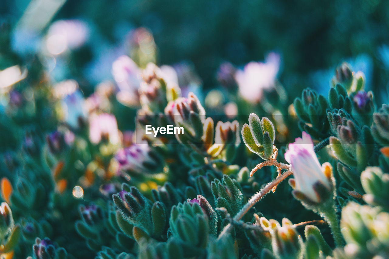 growth, flower, plant, beauty in nature, flowering plant, selective focus, vulnerability, fragility, freshness, close-up, nature, day, no people, flower head, inflorescence, petal, outdoors, green color, pink color, purple