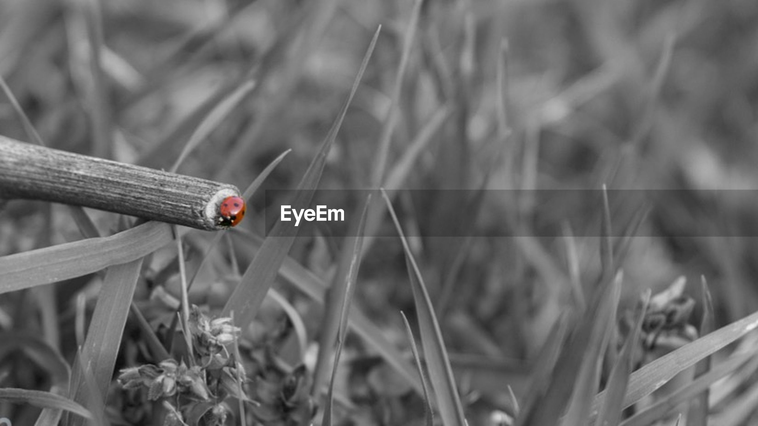 insect, one animal, animal themes, animals in the wild, wildlife, focus on foreground, close-up, grass, selective focus, nature, plant, field, day, outdoors, growth, ladybug, beauty in nature, no people, red, fragility