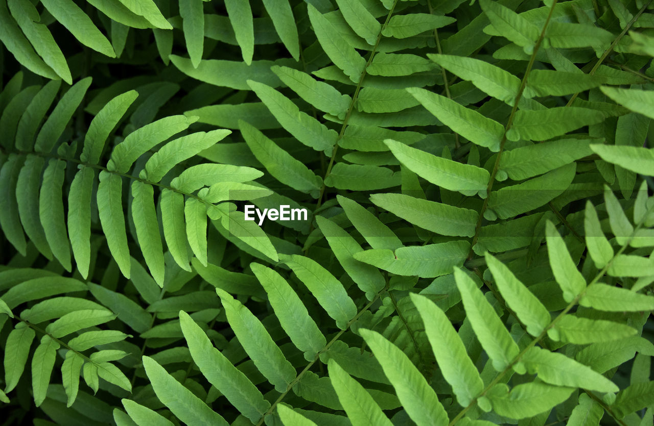 Full Frame Shot Of Fern Fronds