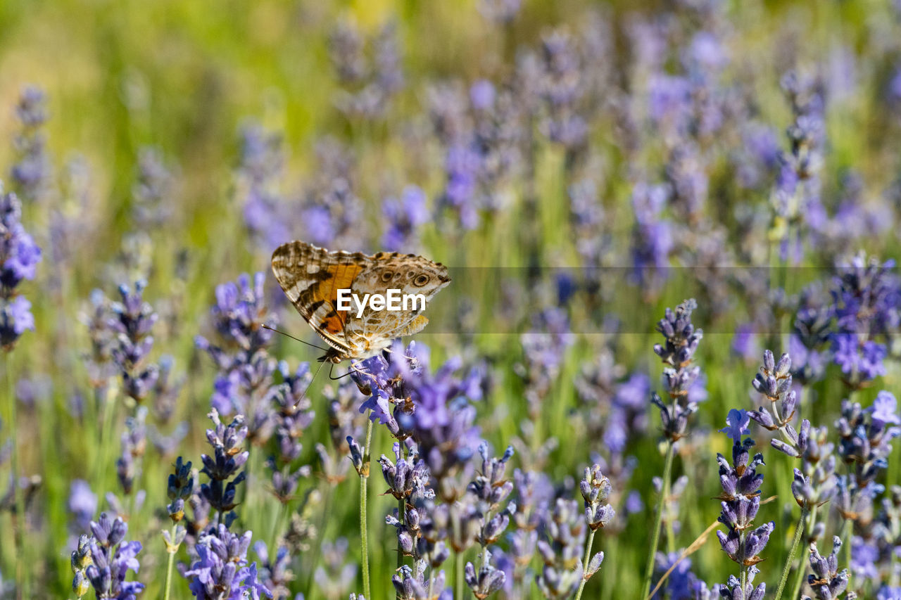 flower, flowering plant, insect, invertebrate, plant, animal themes, beauty in nature, animal, animal wildlife, one animal, fragility, animals in the wild, vulnerability, purple, animal wing, growth, lavender, butterfly - insect, close-up, freshness, no people, flower head, pollination, outdoors, butterfly