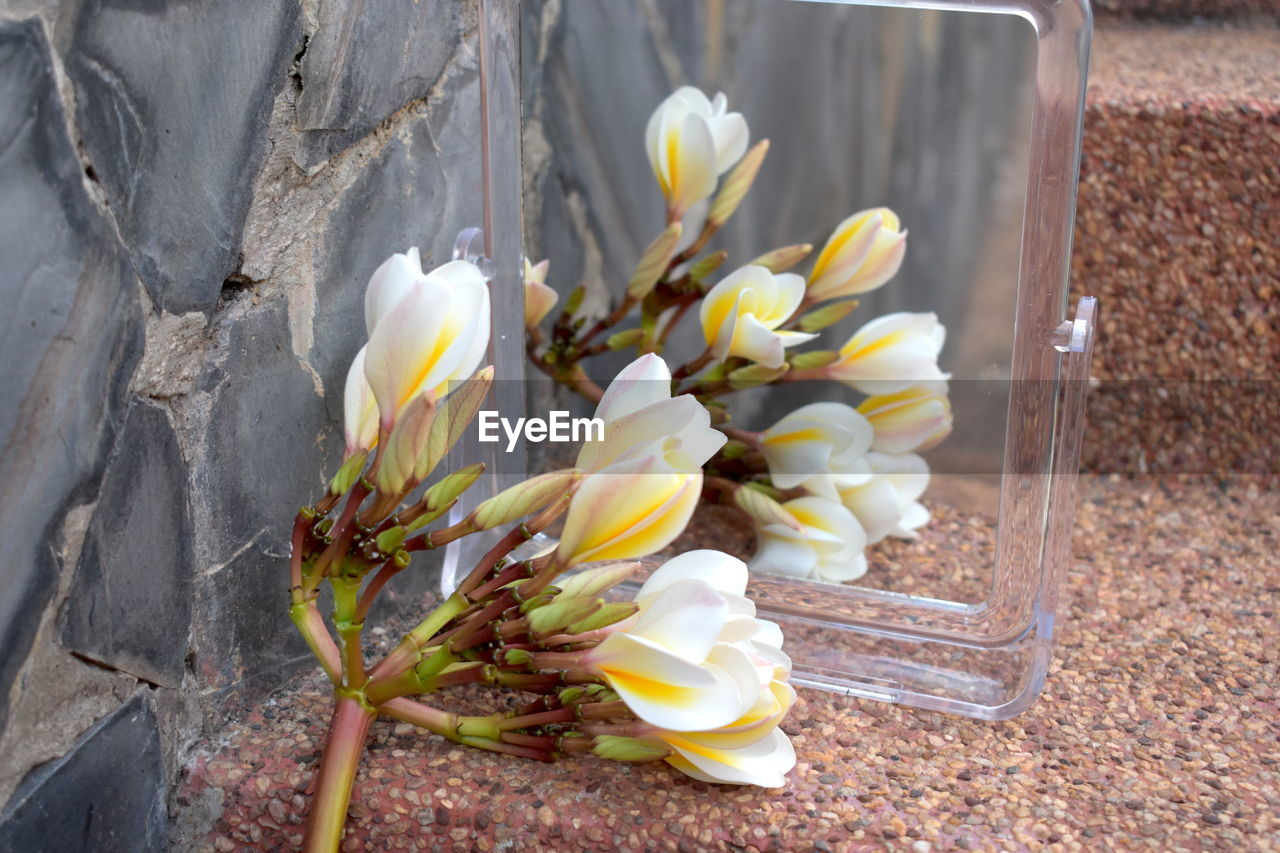 Reflection Backgrounds Bright Sunshine Bunch Of Plumeria Flowers In Mirror Flower Reflection In Mirror Plumeria Blossoms Plumeria Flowers