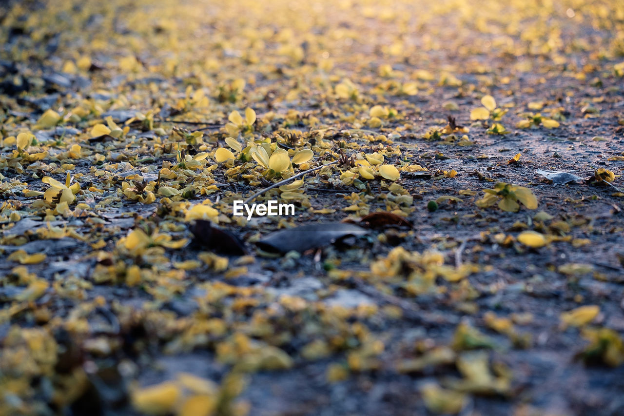 CLOSE-UP OF YELLOW LEAVES ON GROUND