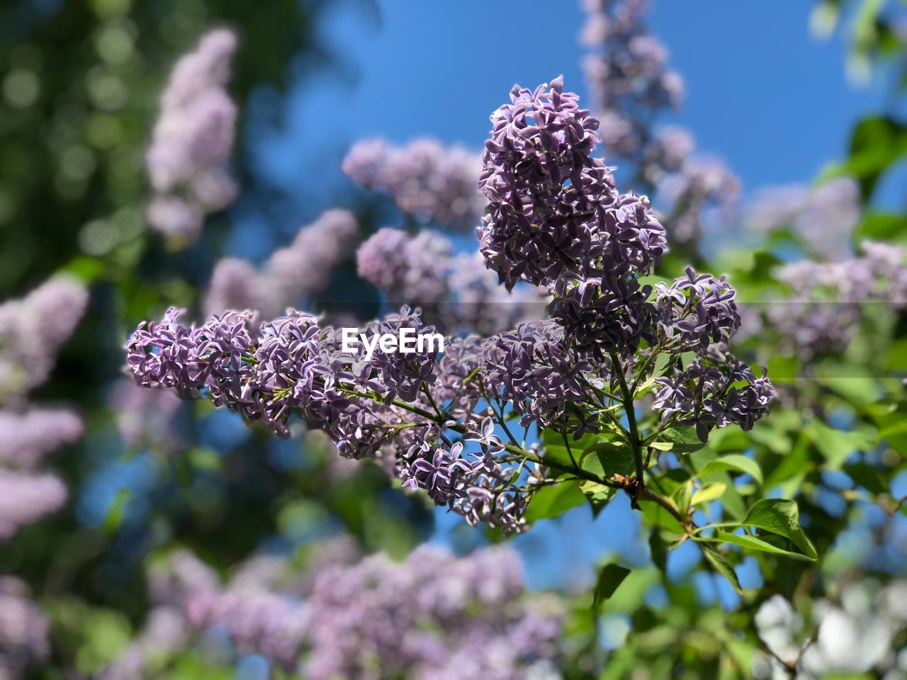 Lilac Plant Beauty In Nature Focus On Foreground Nature Close-up Growth Vulnerability