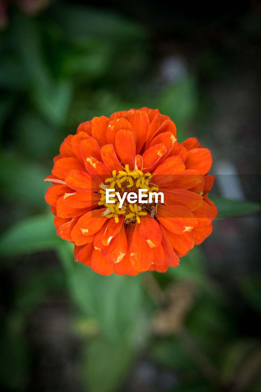 flower, orange color, beauty in nature, nature, petal, fragility, freshness, flower head, no people, outdoors, growth, blooming, day, plant, zinnia, marigold, close-up