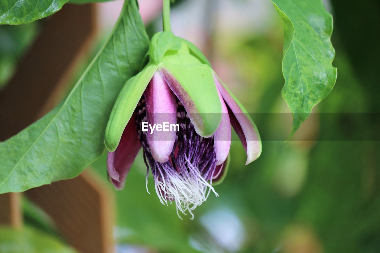 Close-Up Of Purple Flower Growing Outdoors