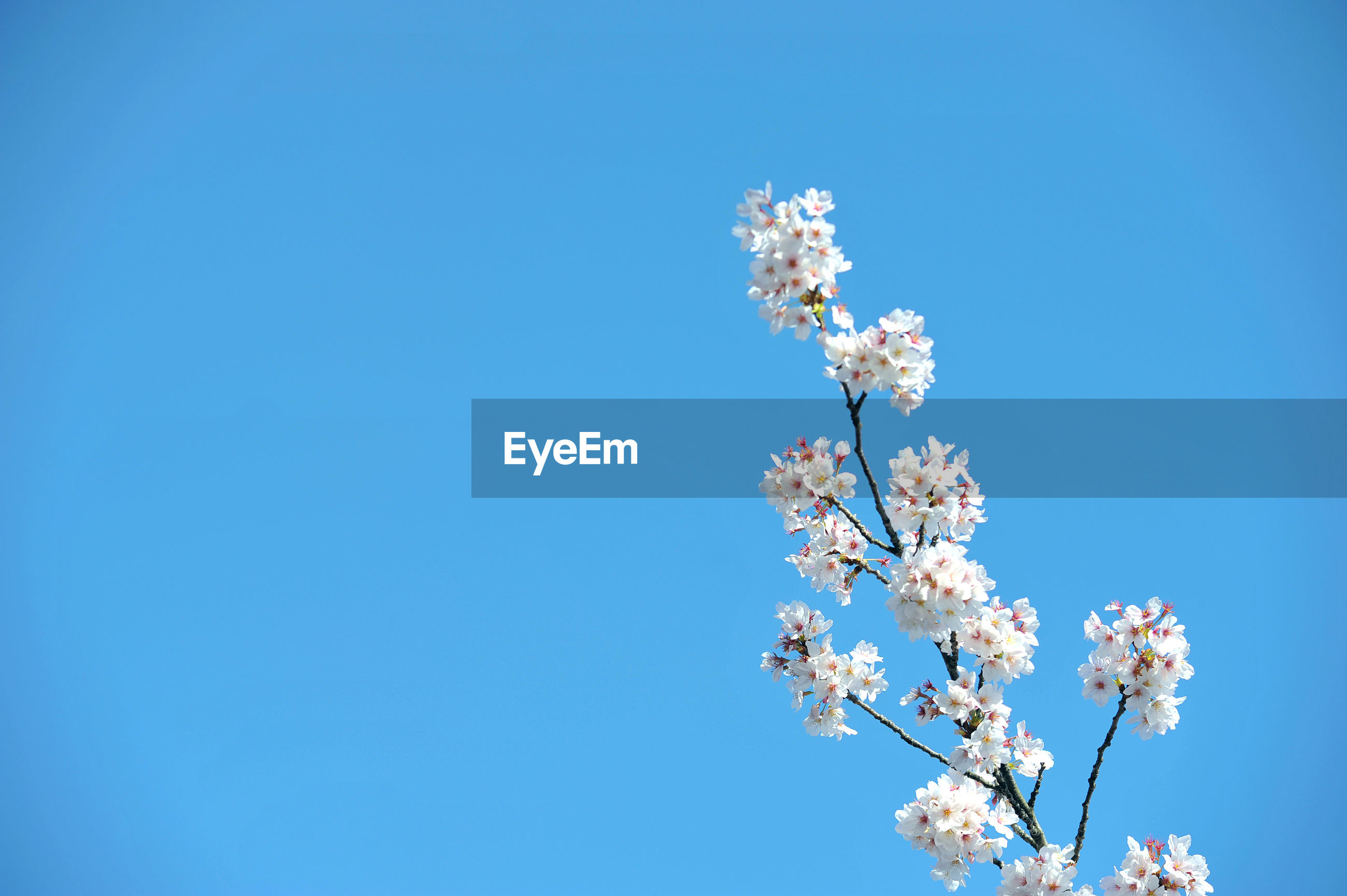 LOW ANGLE VIEW OF WHITE FLOWER TREE AGAINST BLUE SKY