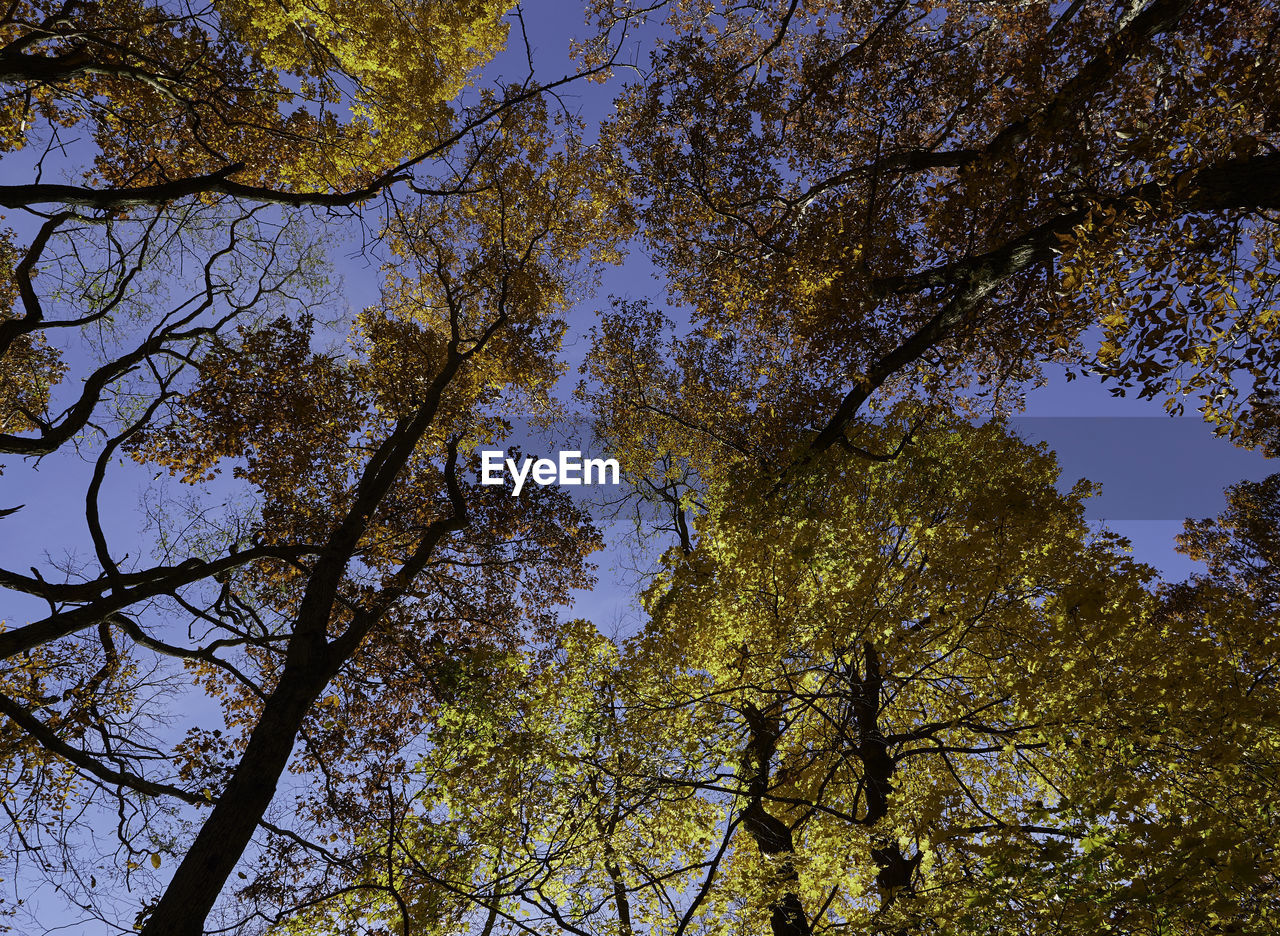 tree, plant, low angle view, sky, growth, branch, tranquility, beauty in nature, no people, nature, trunk, tree trunk, day, clear sky, outdoors, tree canopy, scenics - nature, tranquil scene, autumn, backgrounds, directly below