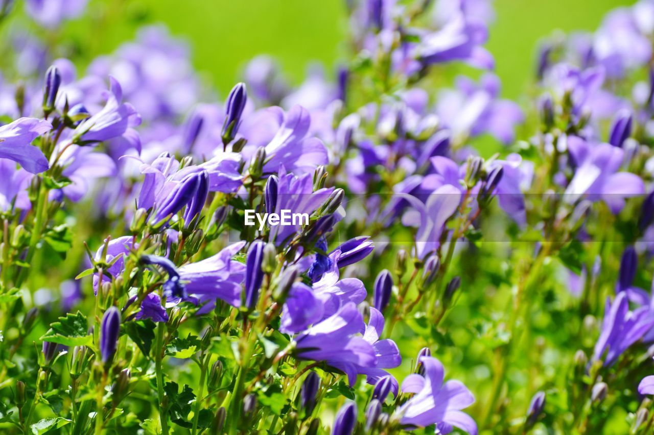 flowering plant, flower, beauty in nature, plant, vulnerability, fragility, freshness, growth, purple, close-up, petal, no people, nature, field, selective focus, land, day, plant stem, botany, flower head, lavender, springtime
