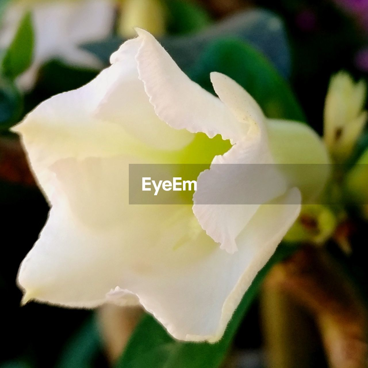 flowering plant, flower, beauty in nature, petal, close-up, vulnerability, fragility, plant, growth, freshness, inflorescence, flower head, white color, selective focus, nature, no people, day, rose, focus on foreground, outdoors, springtime