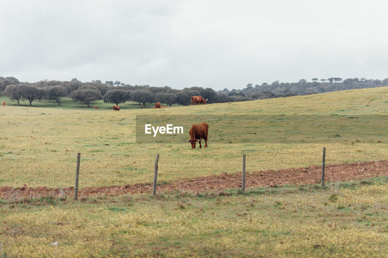 animal, mammal, animal themes, field, landscape, land, environment, livestock, grass, domestic animals, sky, plant, no people, domestic, animal wildlife, agriculture, group of animals, nature, day, vertebrate, herbivorous
