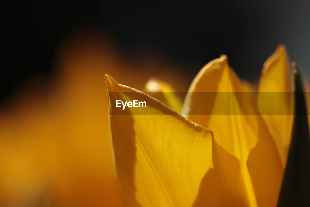 petal, close-up, flowering plant, vulnerability, growth, yellow, inflorescence, fragility, beauty in nature, flower head, plant, orange color, flower, freshness, nature, no people, selective focus, focus on foreground, outdoors