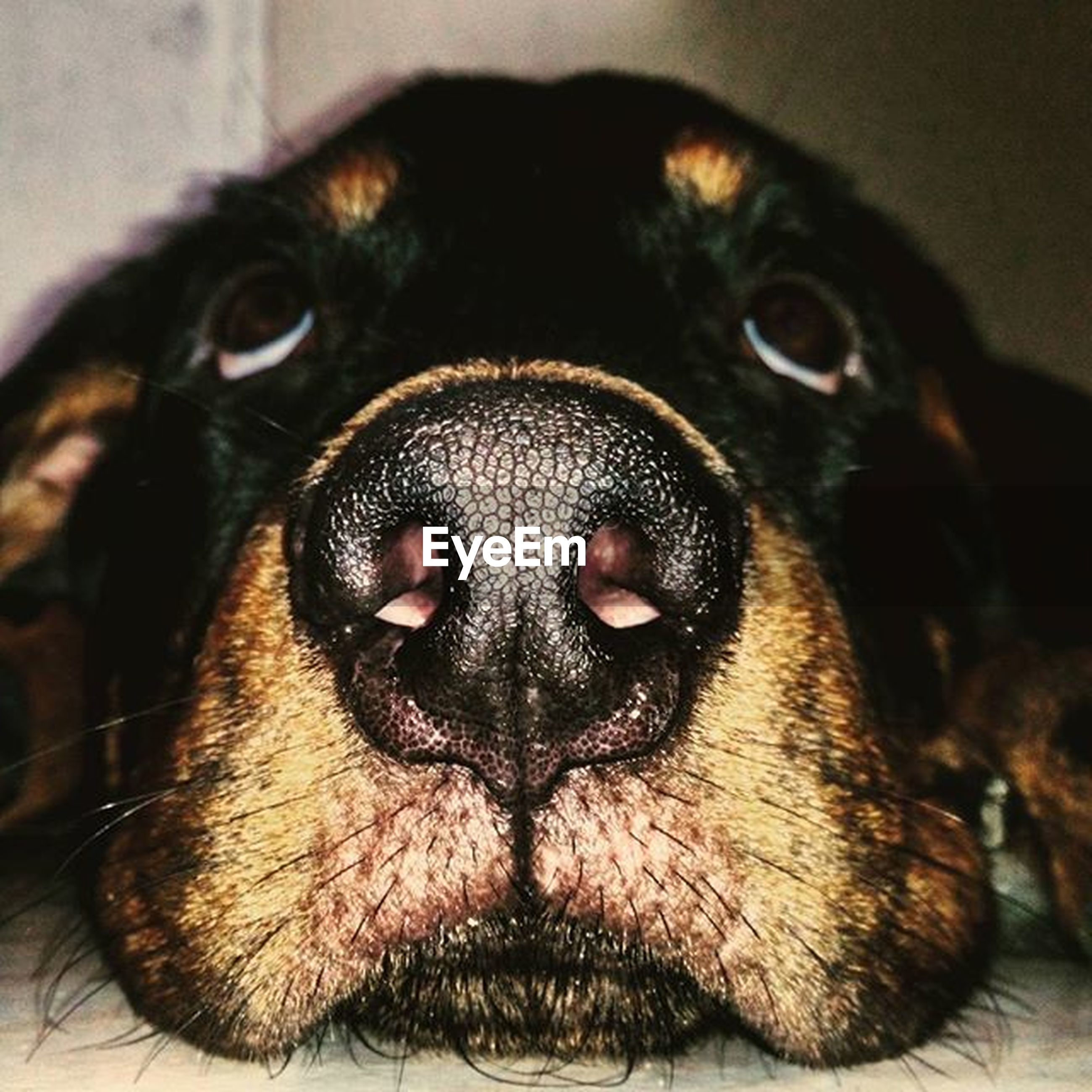 dog, animal themes, pets, domestic animals, one animal, indoors, mammal, portrait, animal head, close-up, looking at camera, animal body part, snout, animal nose, relaxation, no people, home interior, focus on foreground, front view