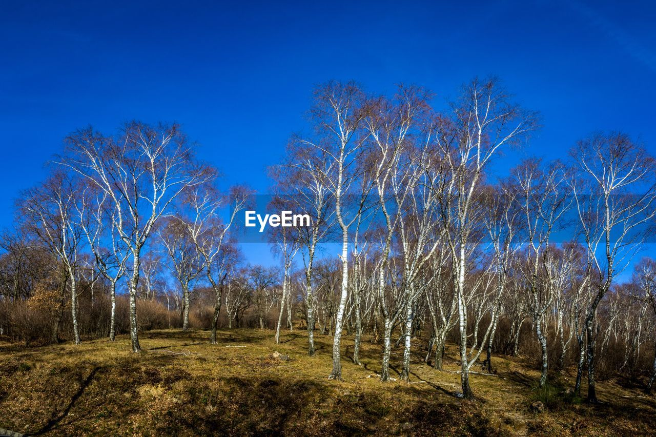 tree, sky, land, blue, plant, tranquility, no people, tranquil scene, nature, bare tree, forest, landscape, scenics - nature, clear sky, environment, beauty in nature, field, non-urban scene, day, outdoors, woodland