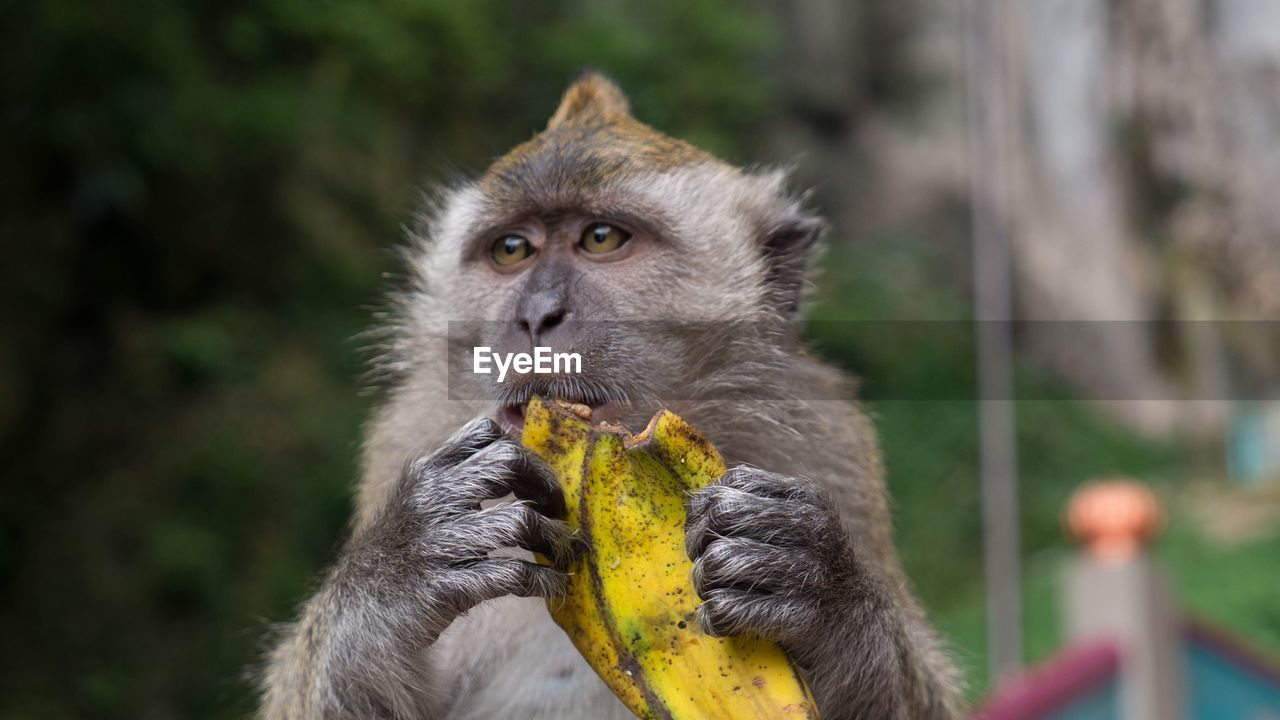 primate, animal wildlife, animals in the wild, focus on foreground, vertebrate, mammal, eating, one animal, food, day, holding, fruit, banana, food and drink, people, close-up, healthy eating, outdoors, animal family