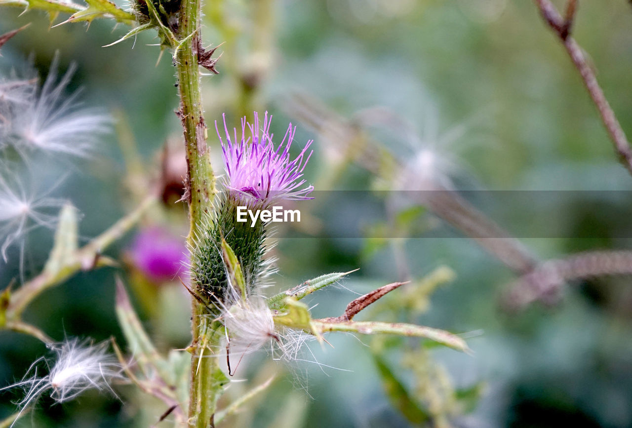 plant, flower, flowering plant, growth, beauty in nature, close-up, vulnerability, fragility, freshness, nature, no people, focus on foreground, day, thistle, pink color, selective focus, inflorescence, outdoors, plant stem, flower head, purple, sepal