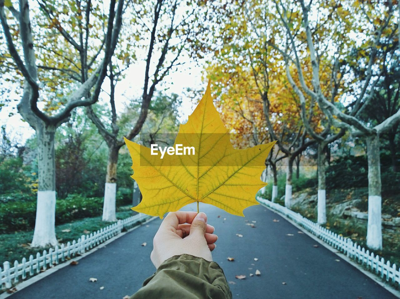 Cropped Hand Of Person Holding Maple Leaf Amidst Trees On Road