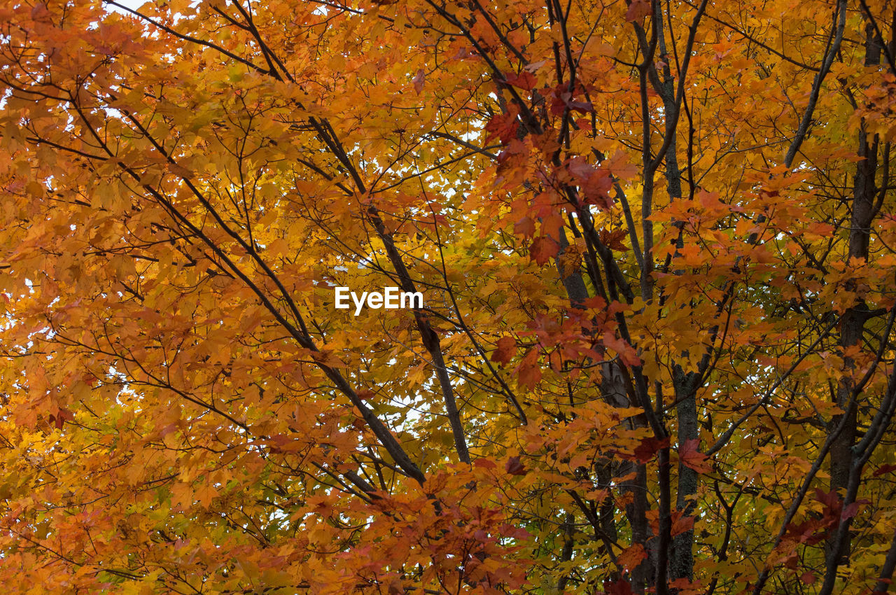 LOW ANGLE VIEW OF MAPLE LEAVES AGAINST TREES