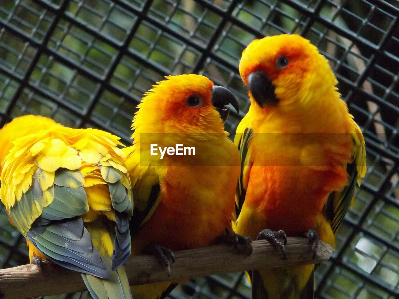 bird, animal themes, cage, birdcage, parrot, yellow, no people, perching, day, outdoors, animals in the wild, togetherness, nature, close-up, domestic animals