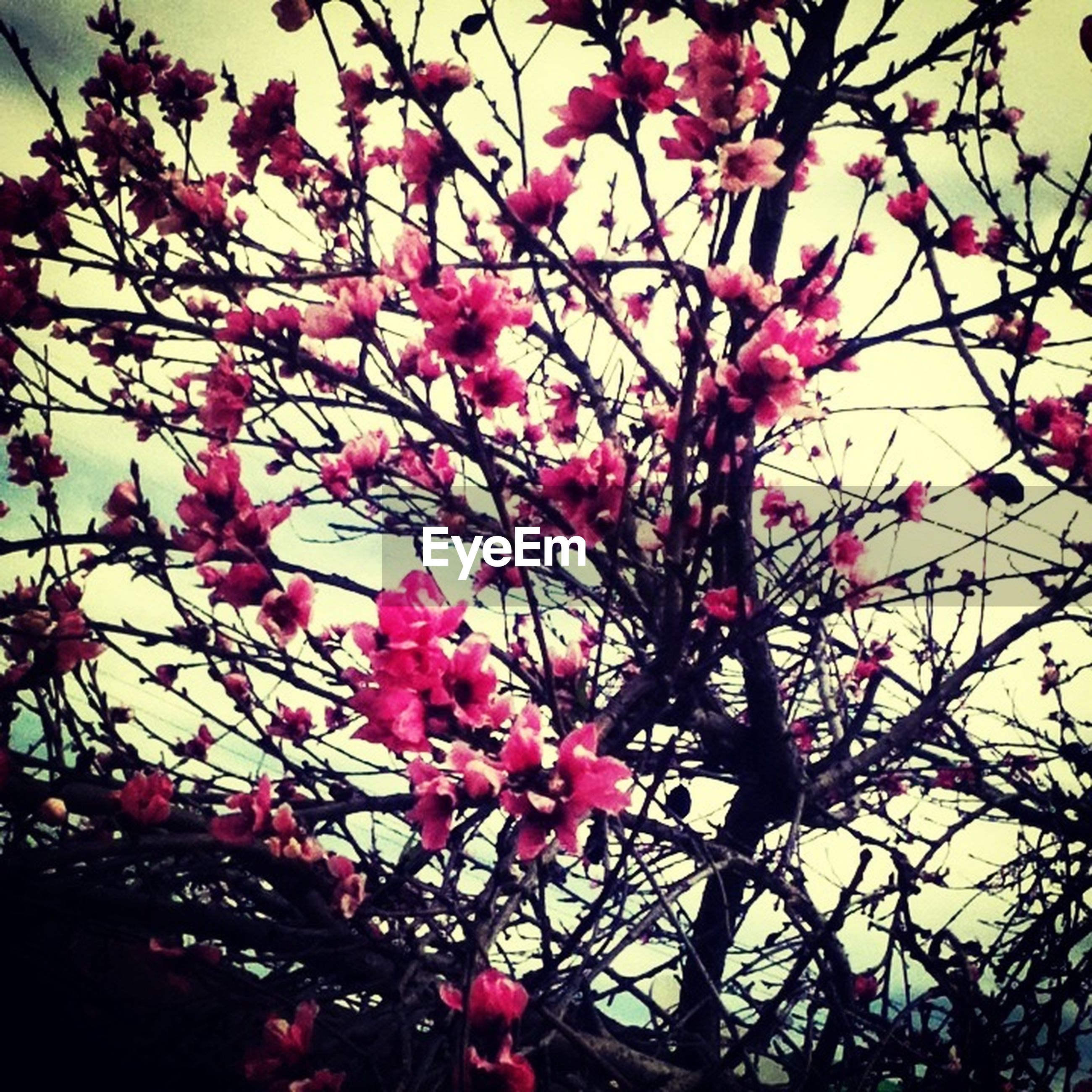 flower, pink color, branch, freshness, tree, low angle view, growth, fragility, beauty in nature, nature, petal, blossom, pink, blooming, in bloom, cherry tree, sky, springtime, cherry blossom, close-up