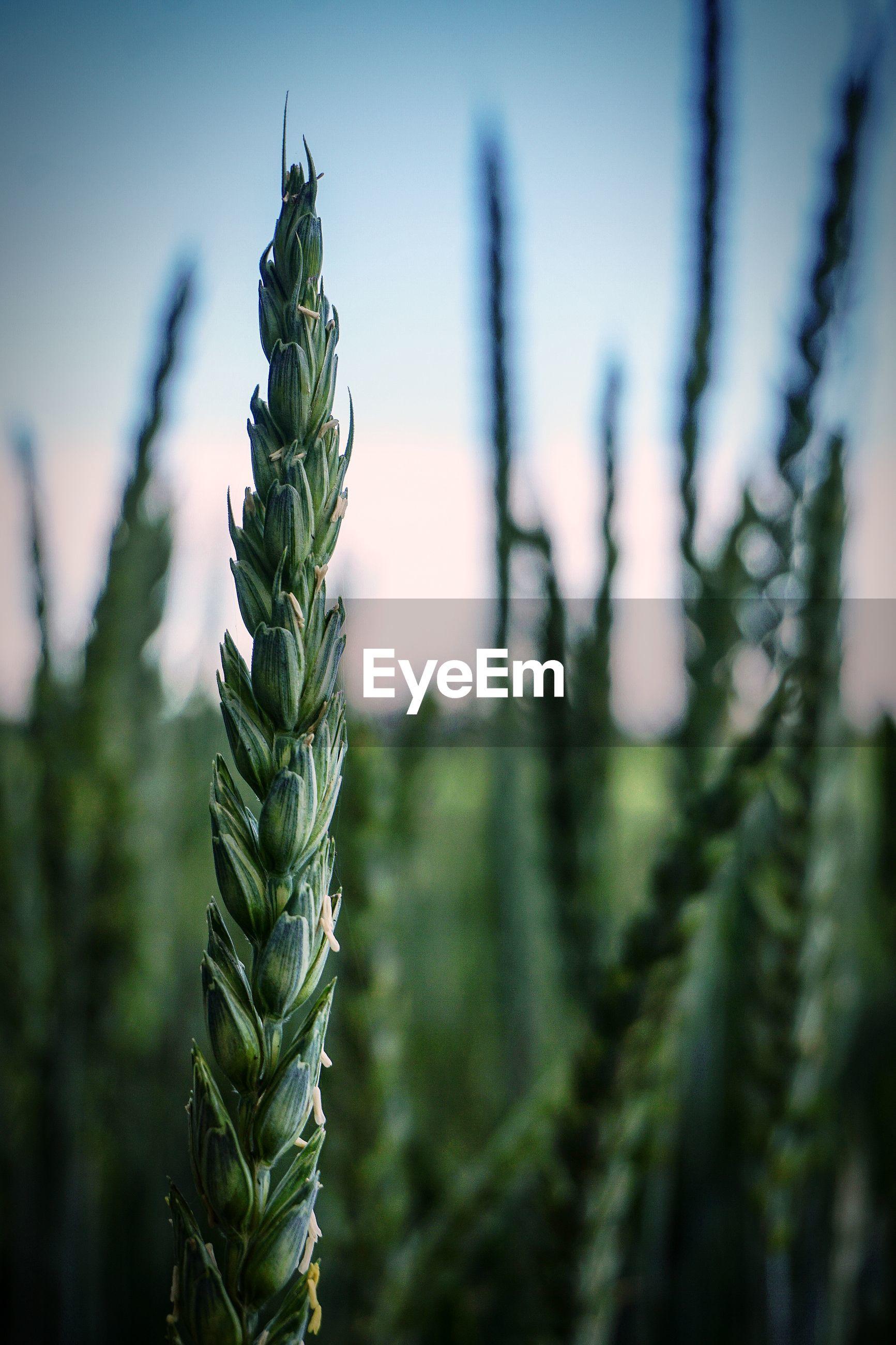 Grain ears field