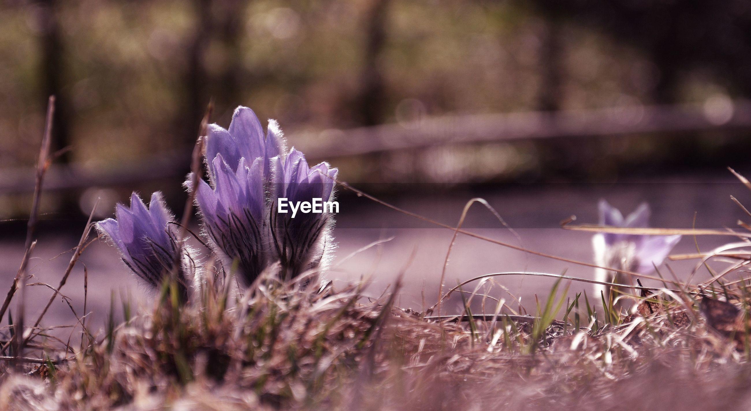 CLOSE-UP OF PURPLE CROCUS FLOWER GROWING ON FIELD