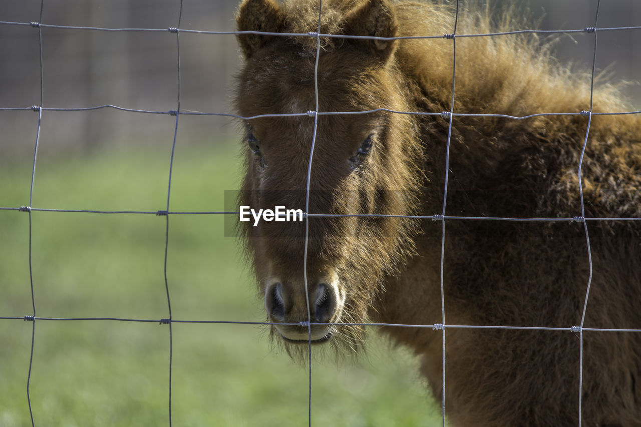 Portrait of brown horse looking through fence