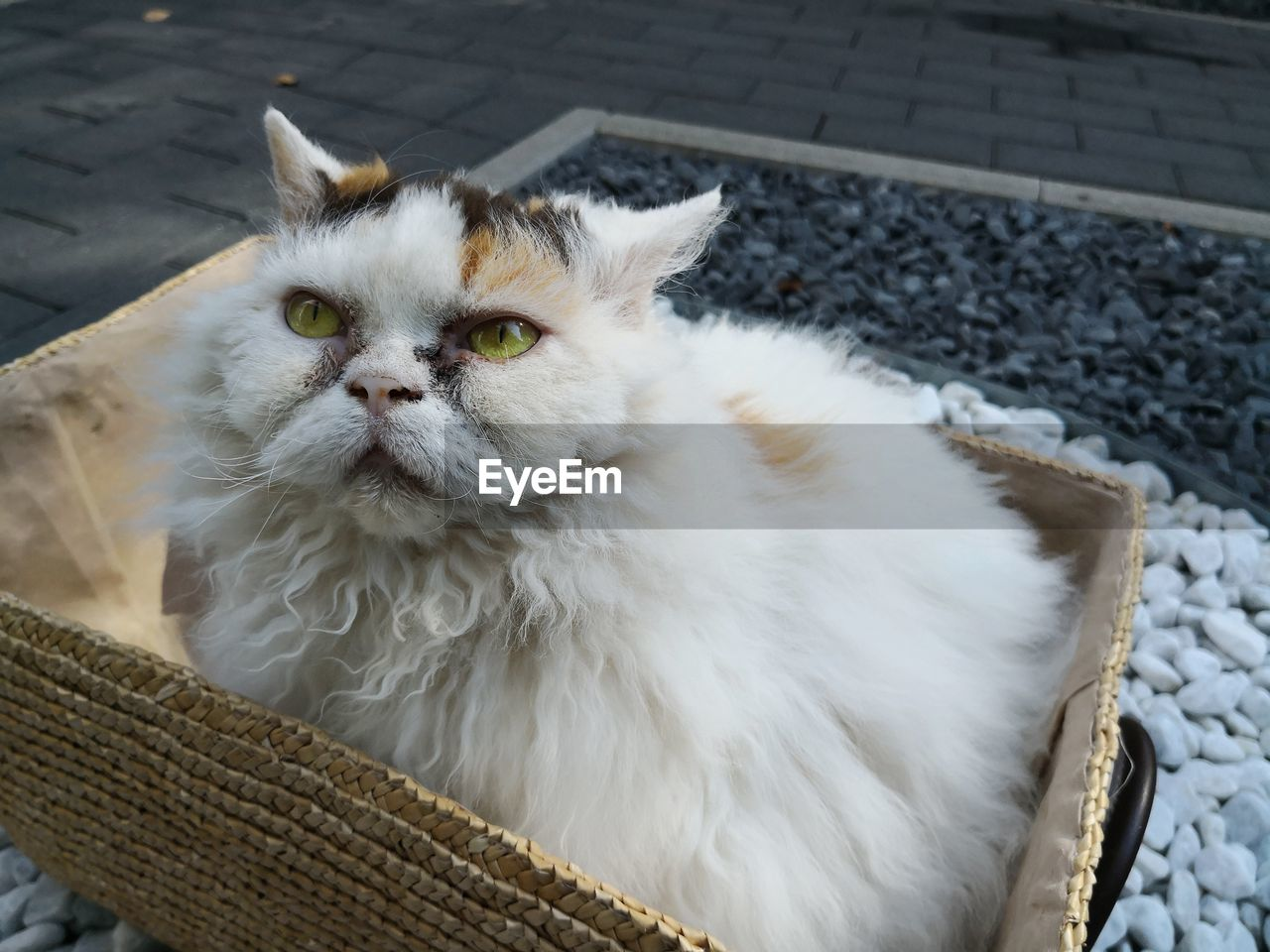 animal themes, domestic animals, domestic, pets, animal, one animal, mammal, cat, domestic cat, feline, vertebrate, no people, portrait, day, white color, relaxation, basket, looking at camera, looking, whisker, persian cat