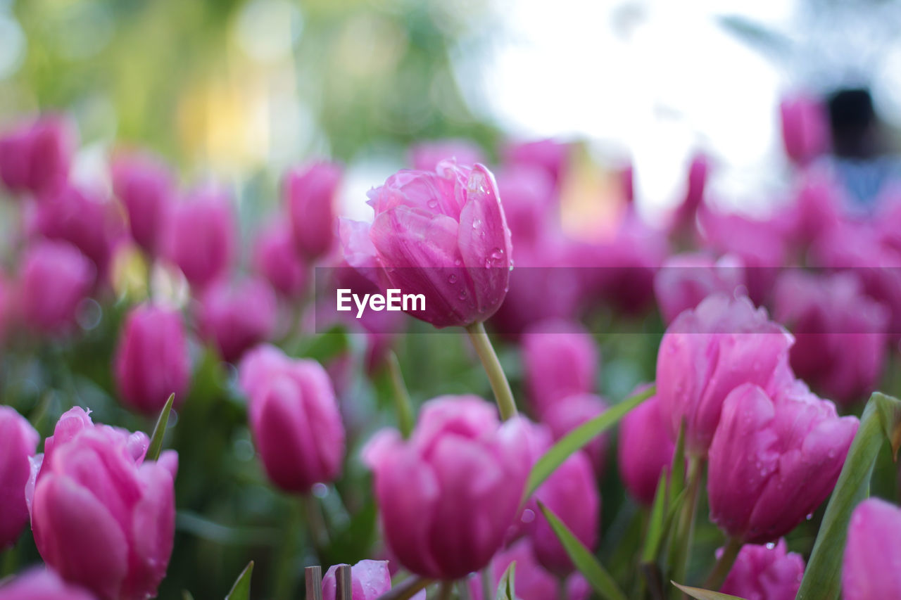 flowering plant, flower, vulnerability, beauty in nature, fragility, freshness, plant, petal, close-up, pink color, growth, inflorescence, flower head, selective focus, nature, no people, day, outdoors, tulip, purple, springtime
