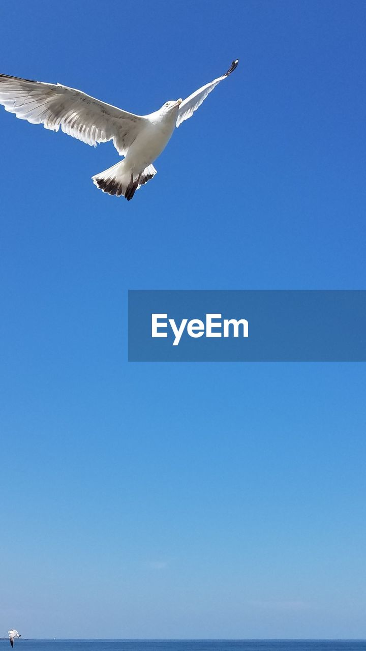 flying, sky, vertebrate, animal themes, animal, spread wings, animals in the wild, one animal, bird, clear sky, blue, animal wildlife, low angle view, copy space, day, mid-air, no people, nature, seagull, motion, outdoors