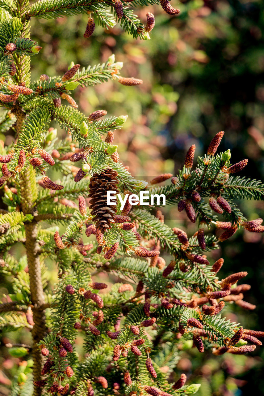 plant, growth, tree, nature, green color, no people, day, beauty in nature, pine cone, branch, selective focus, close-up, focus on foreground, outdoors, plant part, leaf, pine tree, coniferous tree, freshness, tranquility, evergreen tree, needle - plant part, fir tree