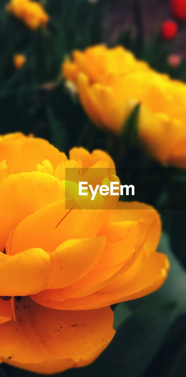 flower, petal, yellow, nature, beauty in nature, freshness, growth, plant, flower head, fragility, blooming, no people, outdoors, close-up, day