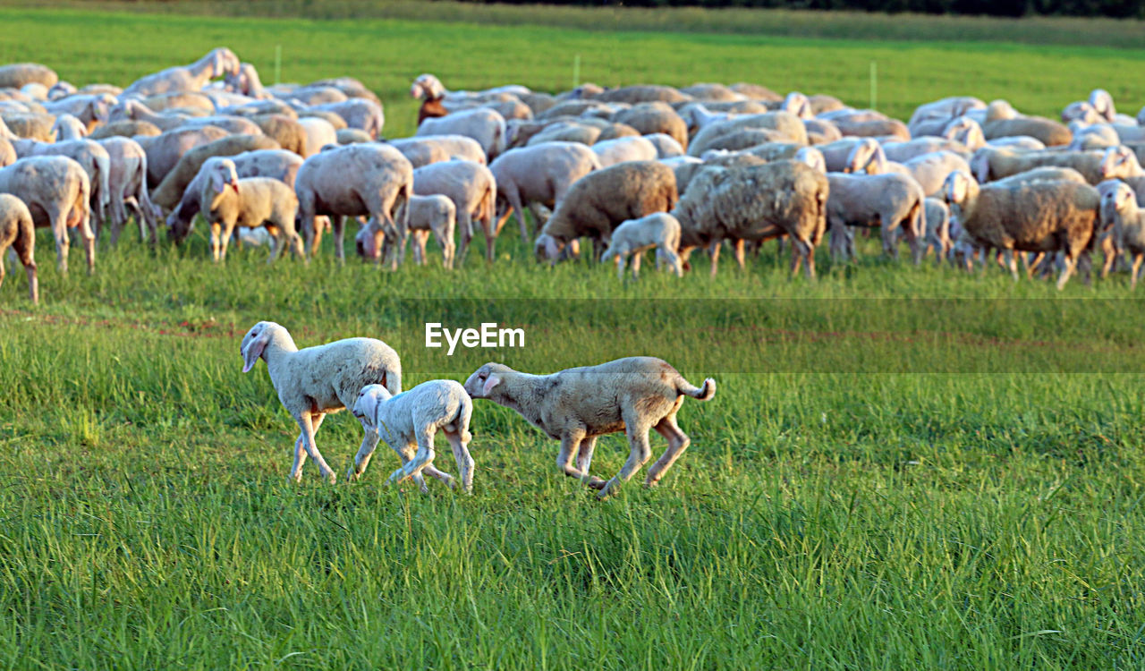 mammal, grass, domestic animals, animal themes, livestock, animal, group of animals, field, agriculture, plant, domestic, sheep, landscape, land, pets, environment, large group of animals, grazing, nature, green color, no people, herd, herbivorous