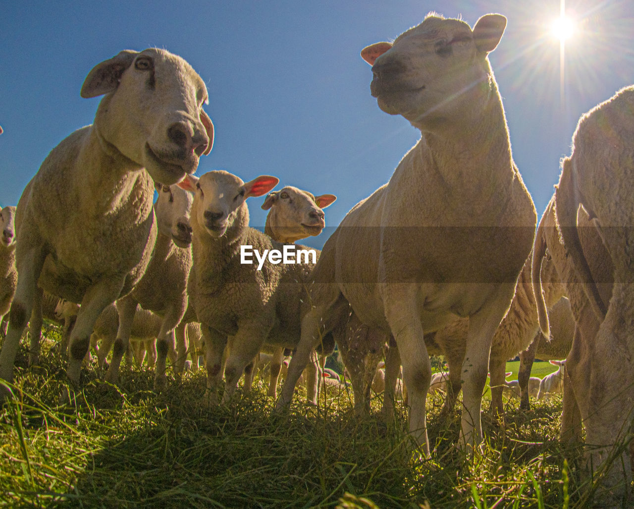 group of animals, mammal, animal themes, animal, domestic animals, sunlight, sky, livestock, vertebrate, pets, field, nature, domestic, grass, land, plant, day, no people, lens flare, sunbeam, outdoors, animal family, herbivorous
