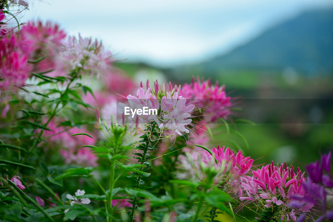 flower, flowering plant, plant, vulnerability, freshness, fragility, beauty in nature, growth, pink color, close-up, nature, petal, inflorescence, flower head, day, no people, selective focus, focus on foreground, outdoors, land, purple, springtime