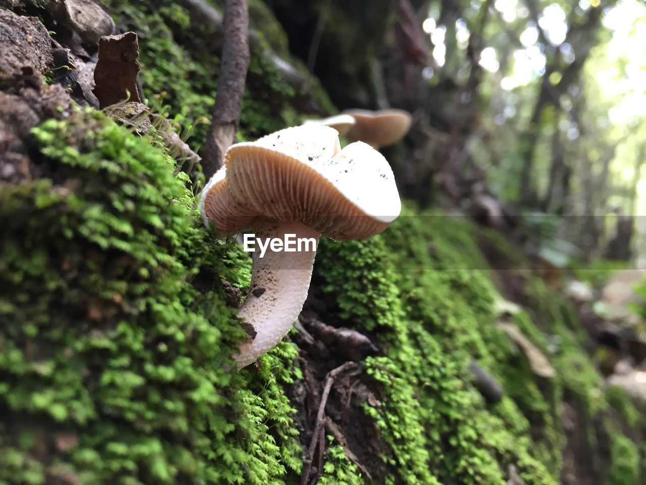 mushroom, fungus, vegetable, plant, tree, toadstool, growth, forest, land, food, beauty in nature, nature, edible mushroom, close-up, day, fly agaric mushroom, trunk, tree trunk, no people, focus on foreground, outdoors, wild, surface level