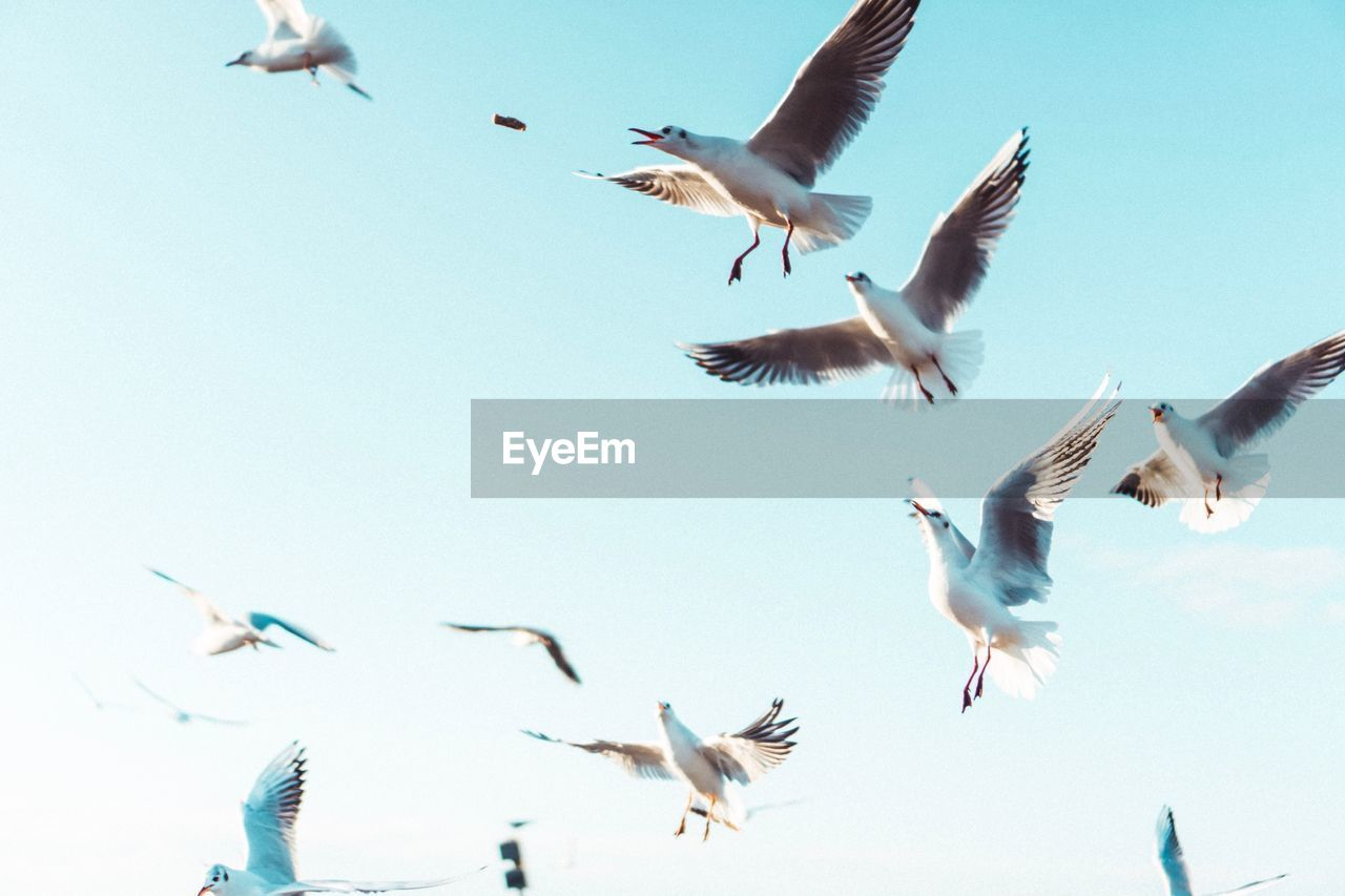 group of animals, flying, animal wildlife, animal themes, spread wings, animal, animals in the wild, vertebrate, bird, low angle view, motion, sky, no people, nature, mid-air, large group of animals, day, seagull, clear sky, flock of birds, flapping