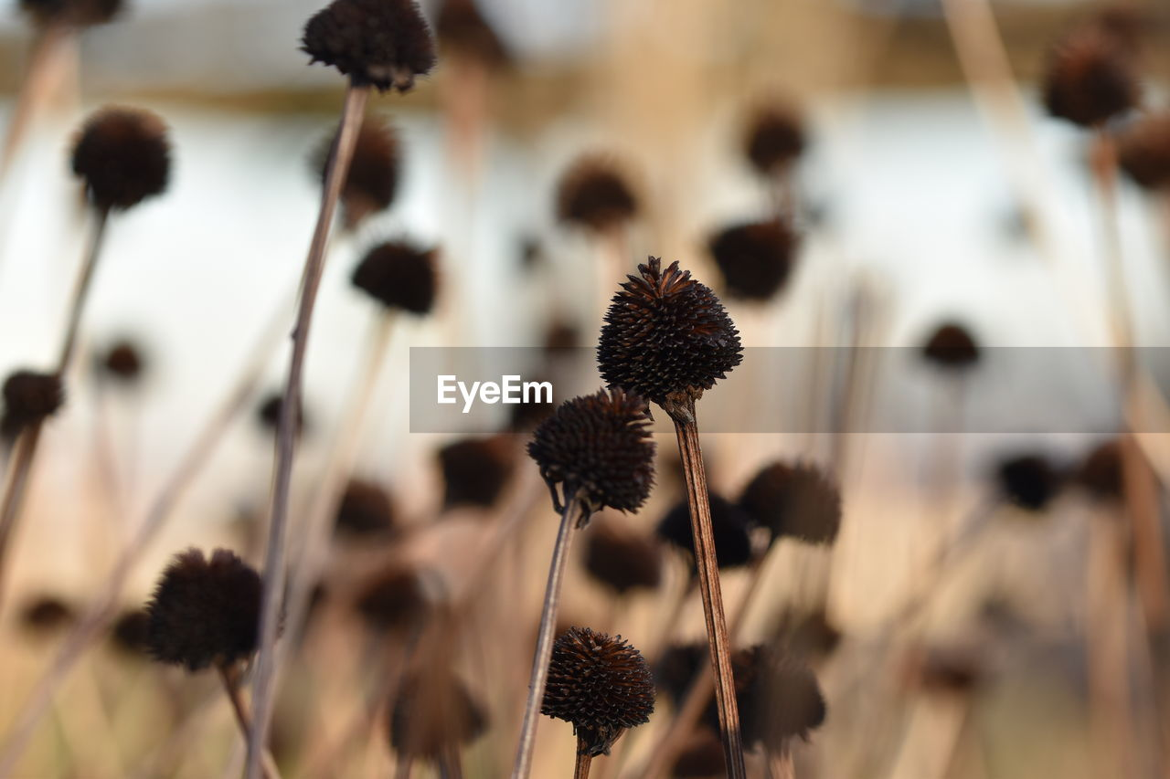 close-up, selective focus, focus on foreground, no people, plant, flower, growth, plant stem, nature, brown, dried plant, flowering plant, day, black color, large group of objects, fragility, freshness, abundance, beauty in nature, vulnerability, dried