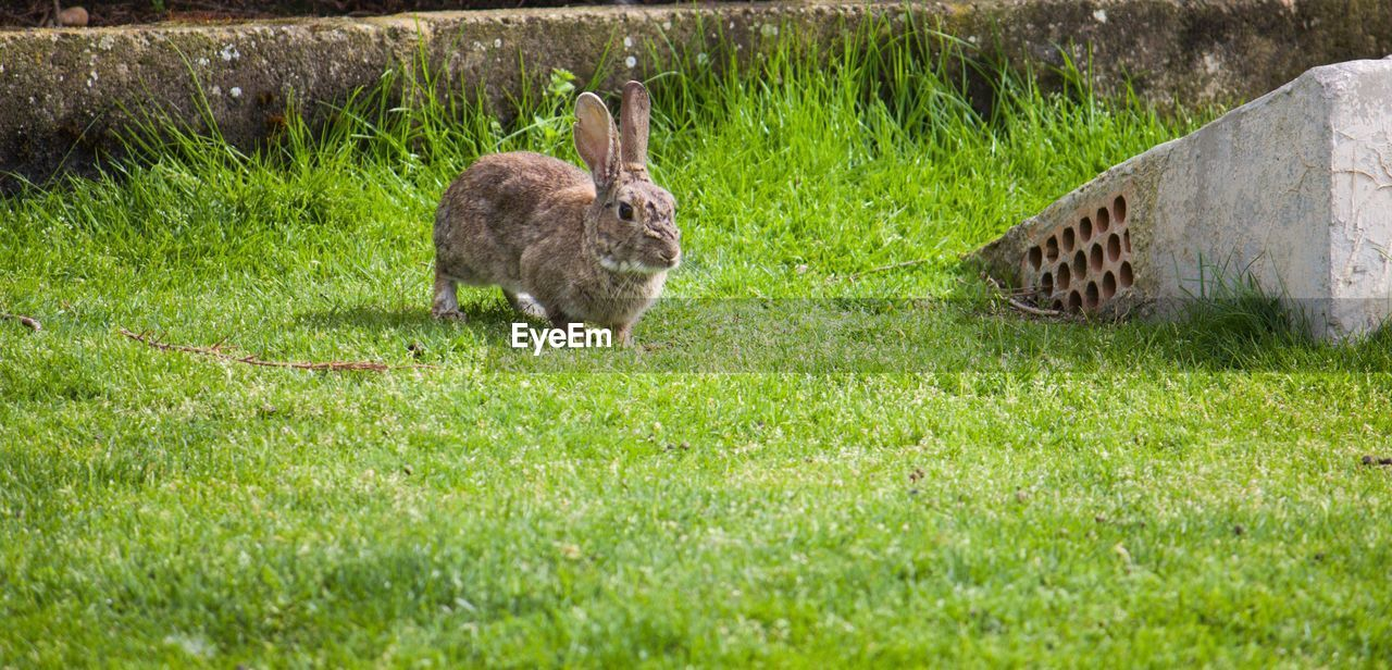 grass, animal themes, animal, mammal, plant, one animal, animal wildlife, animals in the wild, nature, land, field, day, vertebrate, green color, no people, rabbit - animal, domestic animals, pets, rabbit, outdoors