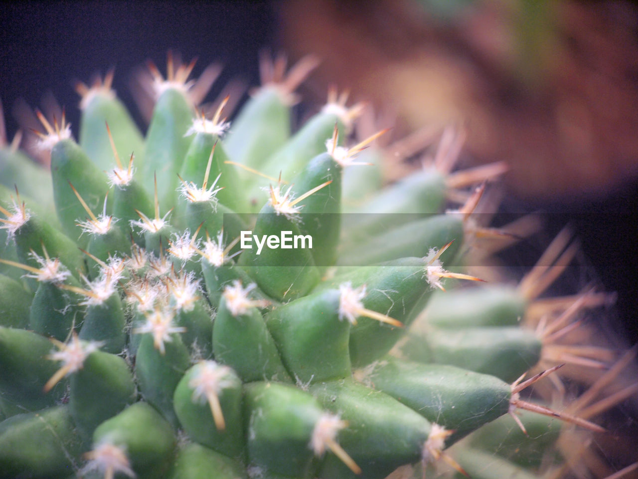 succulent plant, green color, plant, close-up, selective focus, cactus, growth, beauty in nature, thorn, no people, nature, spiked, sharp, day, outdoors, freshness, focus on foreground, flower, plant part, leaf, spiky, coniferous tree