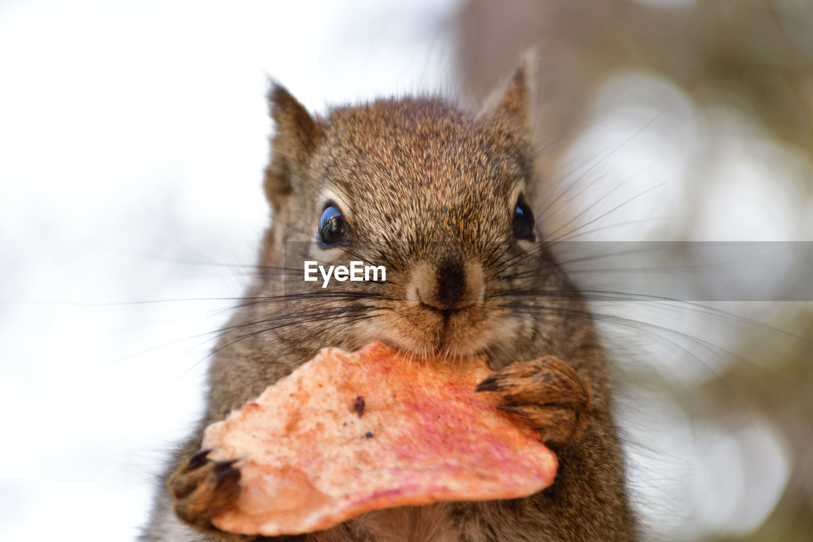 PORTRAIT OF SQUIRREL EATING