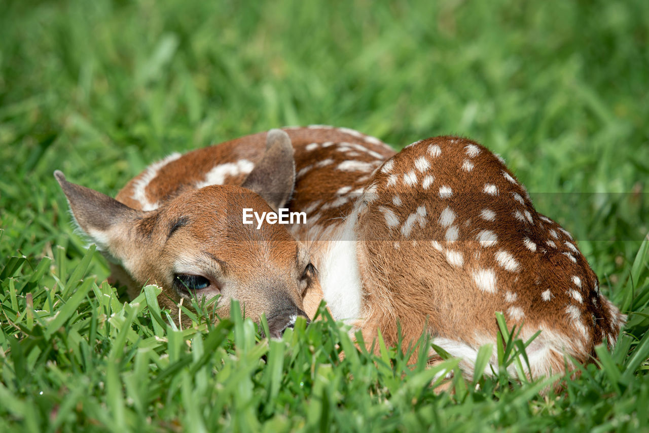 Deer sleeping on grassy field