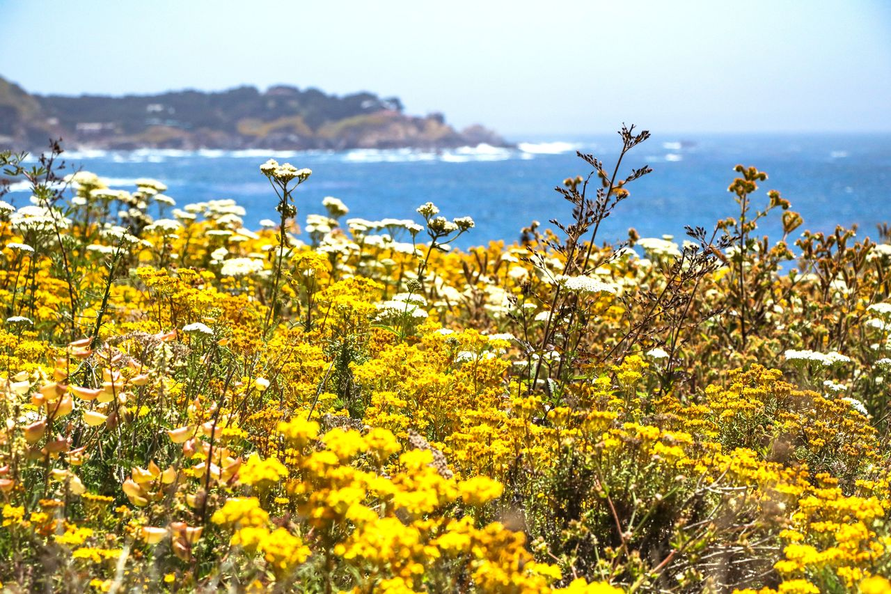 plant, yellow, beauty in nature, flower, flowering plant, growth, tranquility, freshness, fragility, nature, sky, vulnerability, no people, scenics - nature, tranquil scene, day, water, land, sea, outdoors, flower head