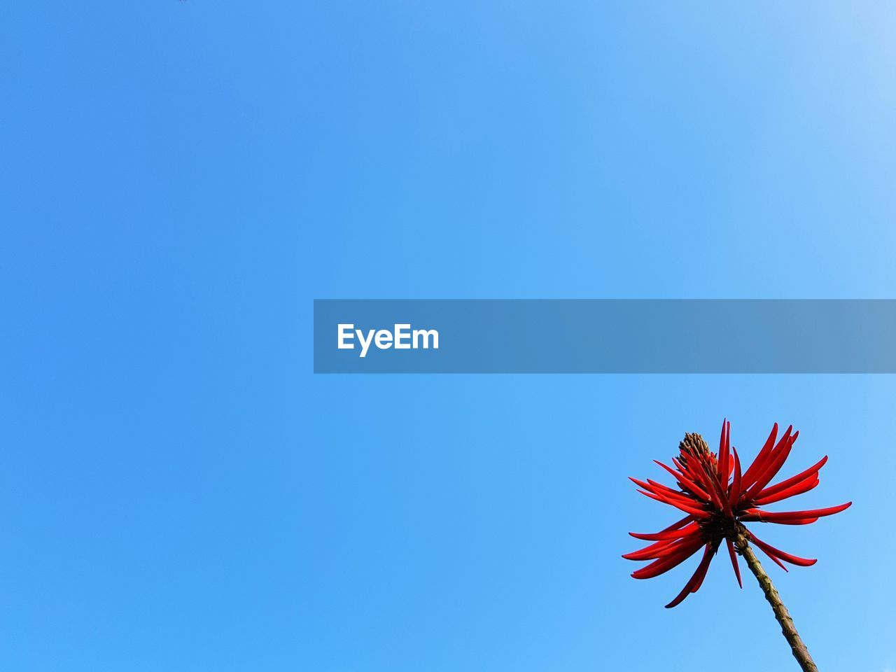 copy space, red, blue, low angle view, clear sky, flower, day, no people, outdoors, nature, beauty in nature, flower head, close-up, freshness