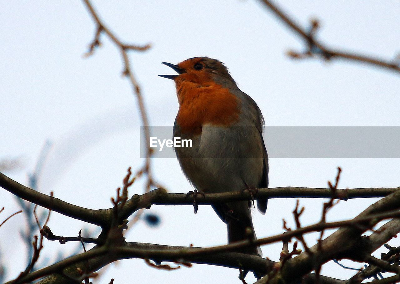 Low angle view of robin perching on twig against sky