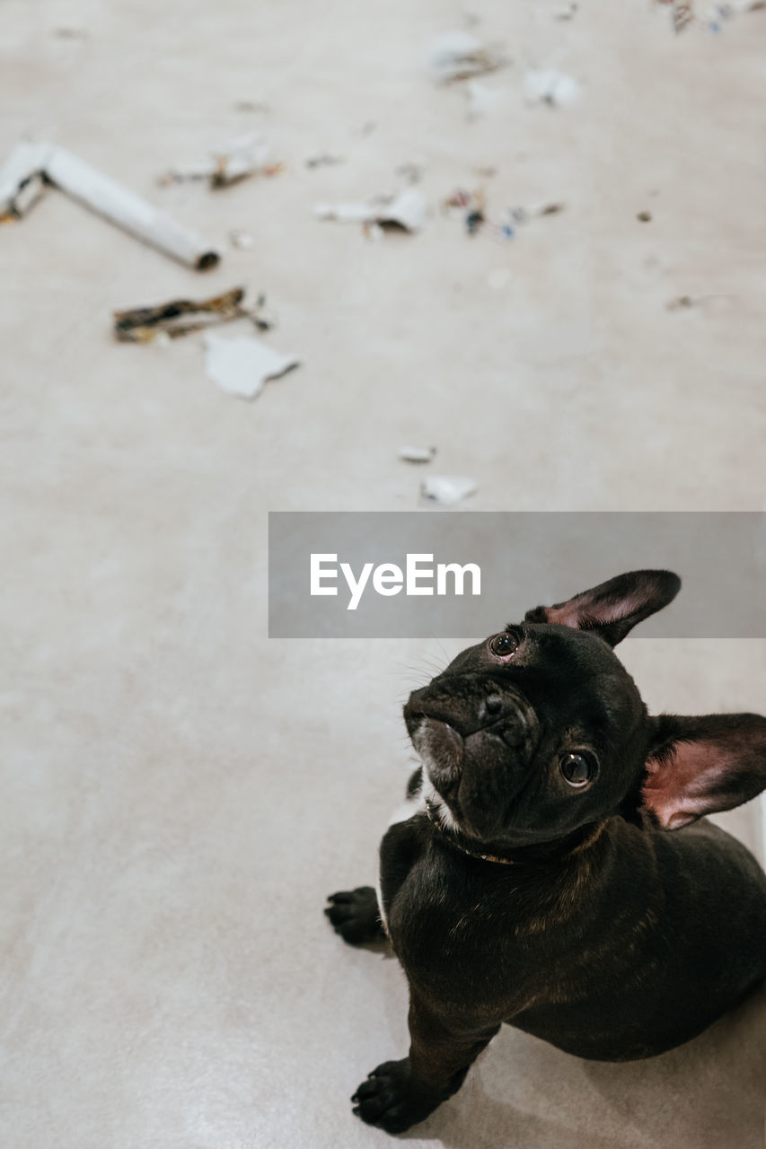 one animal, pets, canine, dog, domestic, animal, animal themes, mammal, domestic animals, vertebrate, no people, high angle view, black color, indoors, looking, french bulldog, pug, portrait, lap dog, relaxation, small